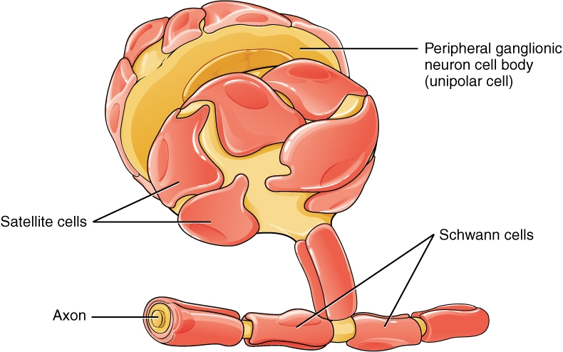 1210_Glial_Cells_of_the_PNS-wikipedia
