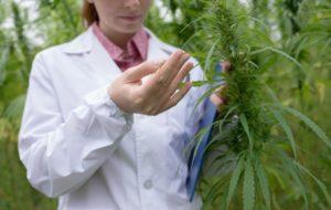 74241716-Stokkete-Dreamstime-INP-Instituut-voor-Neuropathische-Pijn cannabis groei kanker