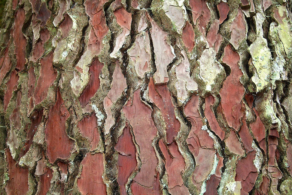 wikicommons-Pinus_pinaster-INP.jpg Pycnogenol bij diabetes