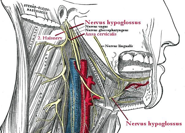 wikimedia-Hypoglossus-INP.jpg
